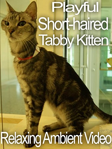 Playful Short-haired Tabby Relaxing Ambient Video