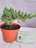 "Japanese Juniper Bonsai Starter Tree - 4"" pot - Juniperus procumbens"