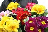 花苗 まとめ買い プリムラジュリアン3寸苗 8ポットセット 【春まで咲きます】