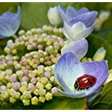 Ladybug NectarTM - 8 Ounces - Attracts & Keeps Beneficial Insects in the Garden