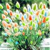 ChinaMarket 100pcs tropical ornamental plants Grass Seeds,Bunny Tails Grass Lagurus flower seeds