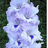 Different Gladiolus Flower Seeds Potted Orchid Seed 20 .s Available 100 Particles / Lot 20