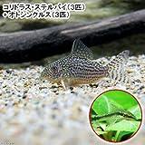 (熱帯魚)コリドラス・ステルバイ(3匹) + オトシンクルス(3匹) 本州・四国限定[生体]