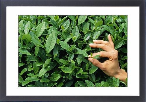 Framed Print Of Tea - Picking / Harvesting For Green Tea