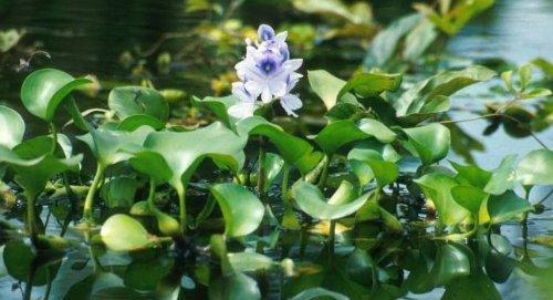 20 Live Water Hyacinth- Pond Aquatic & natural filter plants