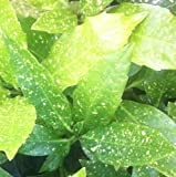 Pack of 3 Aucuba Variegata Variegata - Spotted Laurel - Grown in a 9cm Litre Pot - Ideal For Hedging