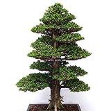 MUKAseeds - Bonsai - Details About 100PCS Rare Tree bonsais Bonsai Plant Japanese Cedar (Color: 4)