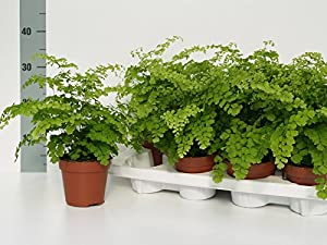 Maidenhair Fern indoor house plant - 15 month established