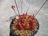 Drosera Spathulata Sundew Frasier Island Form Carnivorous Plant