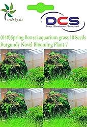 DCS (048) Spring Bonsai aquarium grass 10 Seeds Burgundy Novel Blooming Plant-7