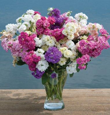 Flower Stock Quartet Formula Mix D1887e (Multi Color) 50 Open Pollinated Seeds by David's Garden Seeds