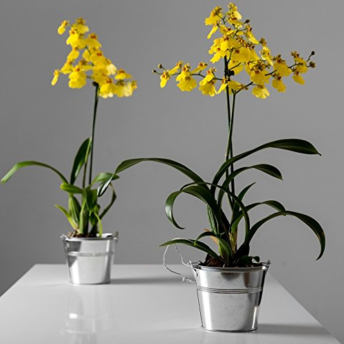 the-flower-studio-delivered-yellow-dancing-lady-orchid-gift-fresh-flowers-free-chocolates