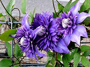 clematis 39 multi blue 39 climber double flowers. Black Bedroom Furniture Sets. Home Design Ideas