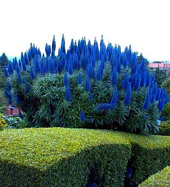 Pride of Madeira 50 Seeds - Echium fastuosum -Perennial