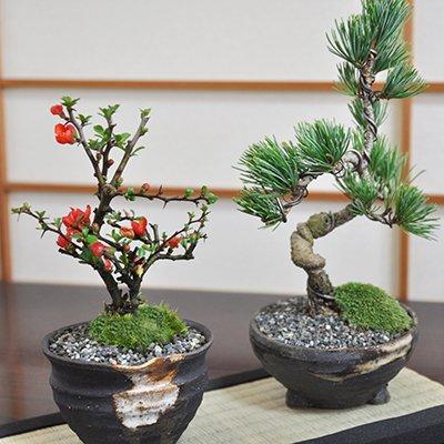 盆栽ペアセット 長寿梅と五葉松のミニ盆栽