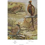 """7.5"""" X 11"""" Double-Sided 1955 Colour Plate, Pigeons & Heath Hen, Eastern Ruffled Grouse, Ring-necked Pheasant ~ Colour Plate"""