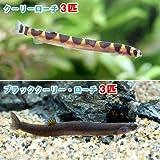 (熱帯魚)クーリーローチ(3匹) + ブラッククーリーローチ(3匹) 本州・四国限定[生体]