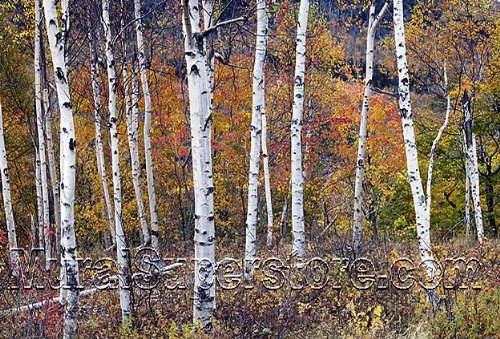 cheap birch forest peel stick wall mural 10 1 2 feet wide x 8 feet. Black Bedroom Furniture Sets. Home Design Ideas