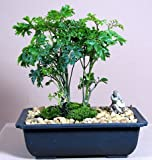 Ming Aralia Bonsai Tree plus Chinese Mudman - Polyscias