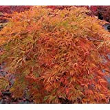 Orangeola Weeping Laceleaf Japanese Maple - Live Plant - Trade Gallon Pot