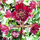 ASTRANTIA BLOODY MARY-Superb Mothers day, Birthday Gift,Plant & Flower,Gifts For Mum,Mom,Grandma,Granny,Her