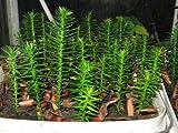 10 * Monkey Puzzle Tree Araucaria Araucana 7-8cm tall