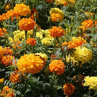 heirloom-african-giant-crackerjack-marigold-seeds-by-stonysoil-seed-comapny