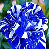 (Bsr200 New) Flower Seeds 200pcs Seeds Blue Stripe Rose Rare Rose Rose Bush Blue White Dragon