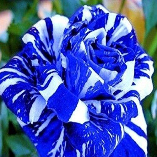 (Bsr200 New *Ambizu*) Flower Seeds 200pcs Seeds Blue Stripe Rose Rare Rose Rose Bush Blue White Dragon
