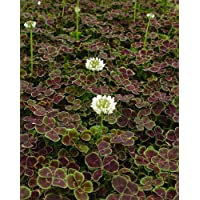 'Midnight Shamrock' Four Leaf Clover Perennial -Trifolium - Indoor or Out