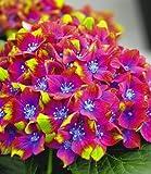 BALDUR-Garten Freiland-Hortensien 'SAXON® Schloss Wackerbarth', 1 Pflanze, Hydrangea macrophylla