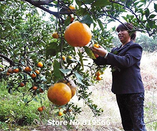 real-citricos-semillas-de-frutas-de-naranja-pais-de-interior-bonsai-lu-gan-mandarina-arbol-al-aire-l