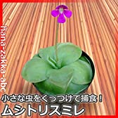 【夏の自由研究に】食虫植物・ムシトリスミレ