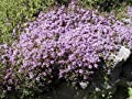 Thyme - Purple Creeping - 700 seeds