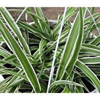 Reverse Variegated Spider Plant - Easy to Grow - Cleans the Air