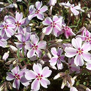 polster phlox phlox subulata 39 candy stripes 39 amazon. Black Bedroom Furniture Sets. Home Design Ideas