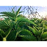Organic NON-GMO PERENNIAL STINGING NETTLE 50 Seeds,Used for Flower/vegetable and as a herb,this plant is invasive