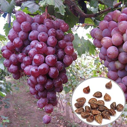 red-globe-uva-20pcs-semi-garden-dolce-fragrante-juicy-fruit