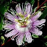 MAYPOP Passiflora incarnata 10 seeds