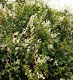 1X 3FT RUSSIAN VINE CLIMBING PLANT - POLYGONUM - MILE A MINUTE - 3L