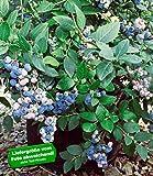 BALDUR-Garten Herbst-Heidelbeeren 'Aurora®'