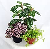 "Terrarium & Fairy Garden Plants - Assortment of 3 Different Plants in 2"" Pots"