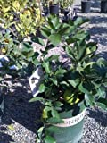 Bearss Lime Tree Premium Dwarf -- 12 by 12 Inch Container