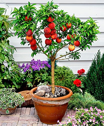 10-seeds-dwarf-peach-fruit-tree-indoor-outdoor