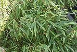 Fargesia murieliae 'Rufa' - Bamboo 18cm Pot Size
