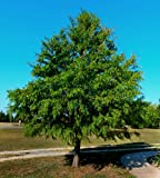 """Bald Cypress Tree - 22"""" to 26"""" Tall - Healthy Rooted - 4"""" Potted - Super Roots - Taxodium distichum 'Bald Cypress' - 3 Plants by Growers Solution"""