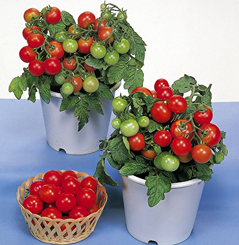 30+ ORGANICALLY GROWN Dwarf Red Robin Tomato Seeds, Heirloom NON-GMO, Sweet, Low Acid, Determinate, Open-Pollinated, Delicious, From USA (Sweet Tomato Seeds compare prices)