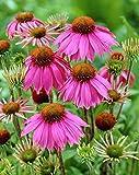 Amazon / Hirt's Gardens: Kim s Knee High Coneflower - Echinacea - Gallon pot