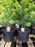 2 Monkey Puzzle Trees Araucaria araucana in 3 Litre Pot, 4 Years Old