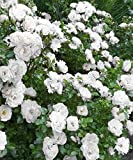 Rose (groundcover,white) Live Plant fit 1 Gallon Pot a.k.a Rosa Drift 'Popcorn' w Free Decorated Poly Bag with Customize Quote